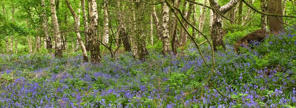 Slider-Bluebell-wood