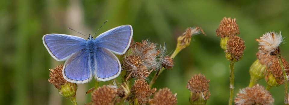 Slider-Common-Blue-butterfly