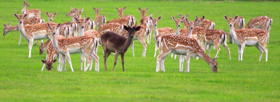 Slider-Wollaton-Park-deer
